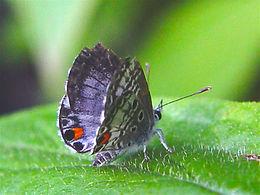 Cyclargus ammon, Nickerbean Blue