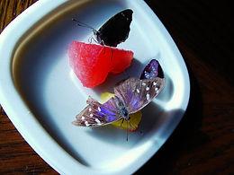 Eunica tatila tatilista, Florida Purplewing