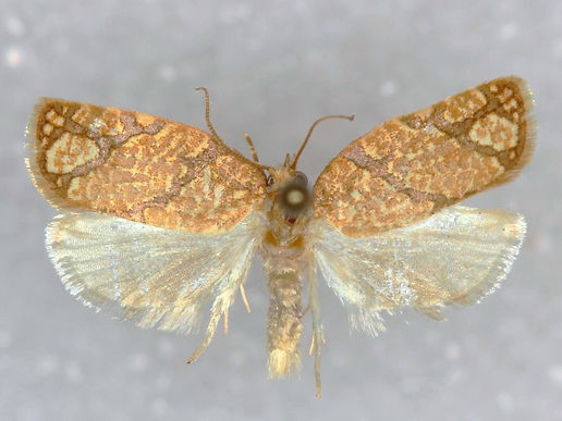 Argyrotaenia quercifoliana,  Yellow Winged Oak Leafroller Moth