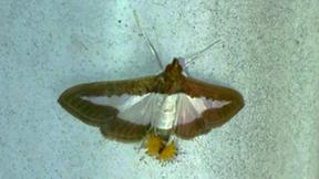 Diaphania hyalinata, Melonworm Moth