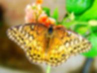 Euptoieta claudia, Variegated Fritillary