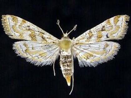 Parapoynx diminutalis, Hydrilla Leafcutter Moth