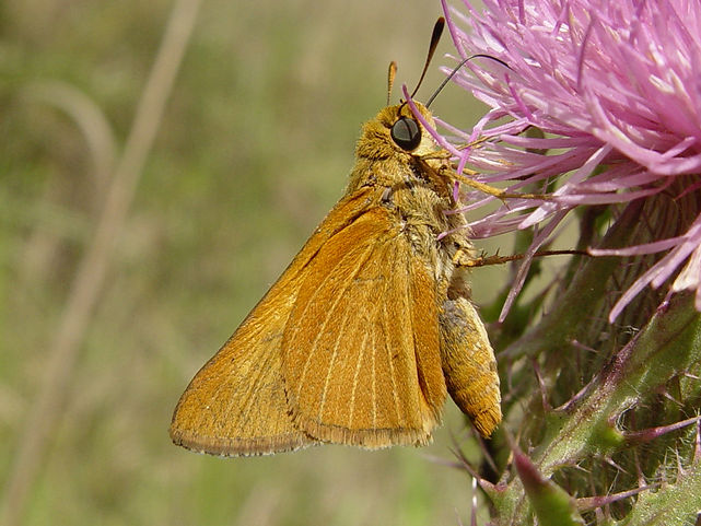 Euphyes berryi, Berry's Skipper