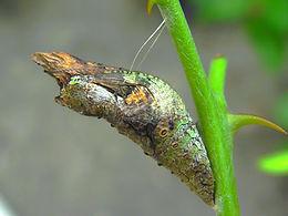 Papilio cresphontes, Giant Swallowtail pup