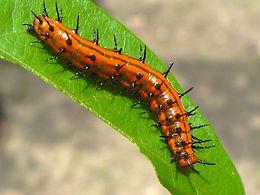 Agraulis vanillae nigrior, Gulf Fritillary larva