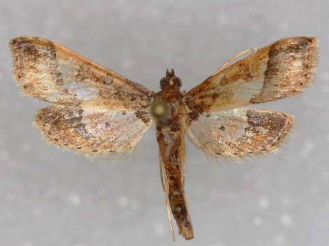 Hydriris ornatalis, Ornate Hydriris Moth