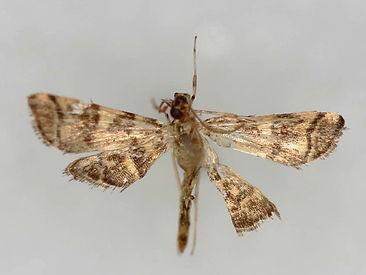 Apogeshna stenialis, Checkered Apogeshna Moth