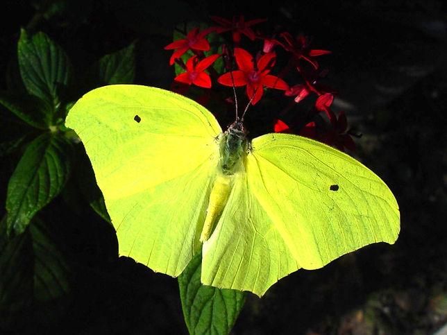 Anteos marulea, Yellow Angled Sulphur