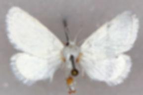 Alarodia slossoniae, Packards White Flannel Moth