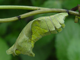 Battus polydamas, Polydamas Swallowtail pupa