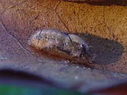 Tmolus azia pupa
