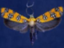 Atteva aurea, Ailanthus Webworm Moth
