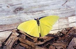 Phoebis sennae, Cloudless Sulphur