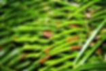 Eumaeus atala, Atala larva