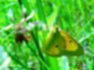 Colias eurytheme, Orange Sulphur