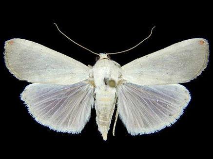 Dichogama amabilis