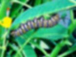 Danaus plexippus, Monarch larva