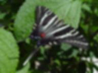 Eurytides marcellus, Zebra Swallowtail