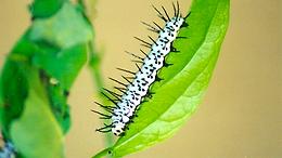 Heliconius charithonia tuckeri, Zebra Heliconian larva