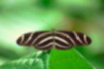 Heliconius charithonia tuckeri, Zebra Heliconian