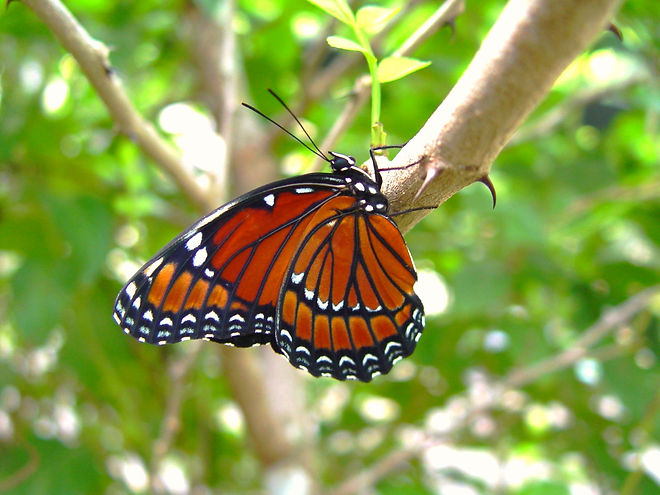 Limenitis archippus floridensis, The Florida Viceroy
