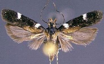 Chionodes ceryx