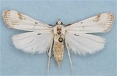 Parapoynx maculalis