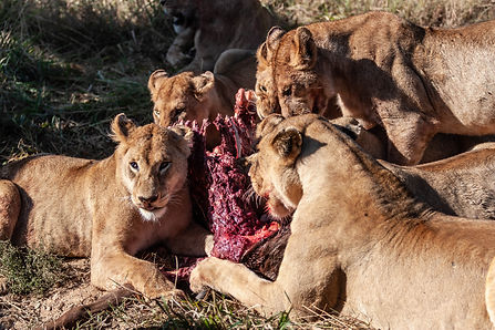 ellie bell photography, tanzania, east africa, serengeti, ngorongoro crater, lions, prey, eating, feeding