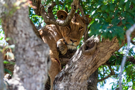 ellie bell photography, tanzania, east africa, serengeti, lioness, tree