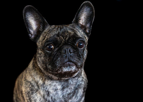 ellie bell photography, pet photography, indoor pet photography, dog, frug, french bulldog, pug, post production