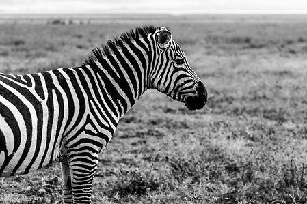 ellie bell photography, serengeti, tanzania, zebra, east africa