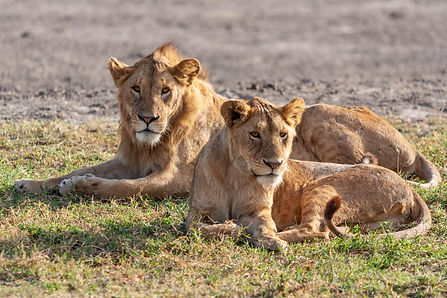 ellie bell photography, tanzania, east africa, serengeti, ngorongoro crater, lion, lioness