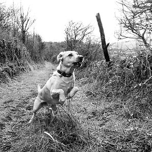 ellie bell photography, pet photography, labrador, yellow labrador, fetching stick, high speed photography, outdoor pet photography, countrside, catching stick, sheffield