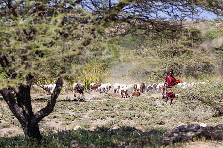 ellie bell photography, tanzania, east africa, arusha, farmer, masai, cattle