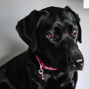 ellie bell photography, pet photography, dog, labrador, female dog, pink collar