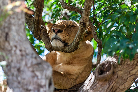 ellie bell photography, tanzania, east africa, serengeti, lioness, tree, asleep