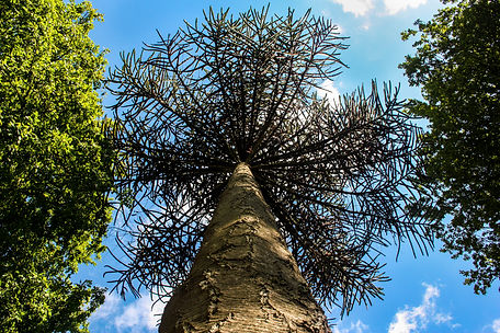 ellie bell photography, chatsworth, chatsworth gardens, tree, perspective, worms eye view, nature, sky, summer, warm