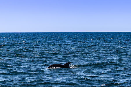 ellie bell photography, albufeira, portugal, algarve, coast, town, portugese, europe, summer, ocean, sea, atlantic ocean, dolphin, swimming