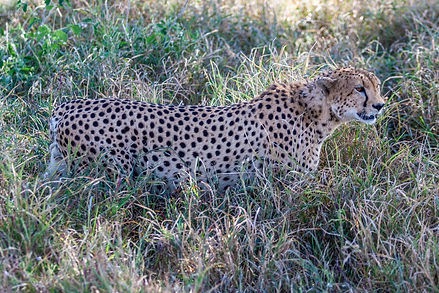 ellie bell photography, tanzania, east africa, serengeti, cheetah