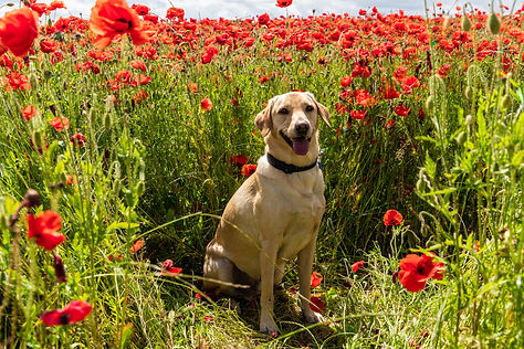 ellie bell photography, pet photography, yellow labrador, labrador, male dog, dog, poppy, poppies, poppy field, derbyshire, countryside, sunny, warm, summer