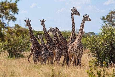 ellie bell photography, tanzania, east africa, serengeti, giraffes