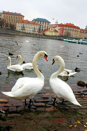 ellie bell photography, prague, czech republic, old town, river, vltava, swans