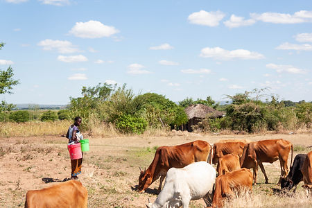 ellie bell photography, tanzania, east africa, farmer, cattle, cows