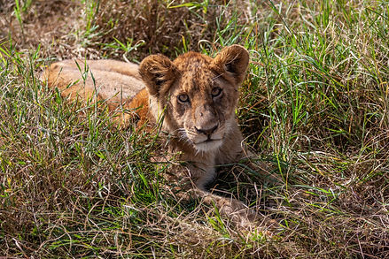 ellie bell photography, tanzania, east africa, serengeti, lion, baby lion, lion cub