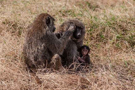 ellie bell photography, tanzania, east africa, serengeti, baboons, baby baboon