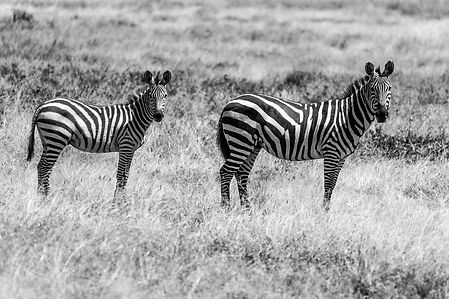 ellie bell photography, serengeti, tanzania, zebras, east africa
