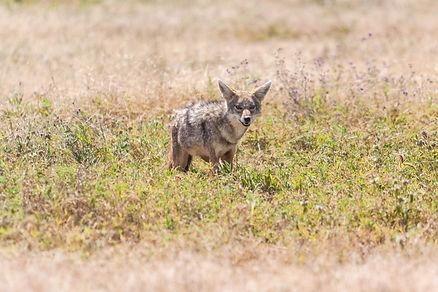ellie bell photography, tanzania, east africa, serengeti, ngorongoro crater, jackal,