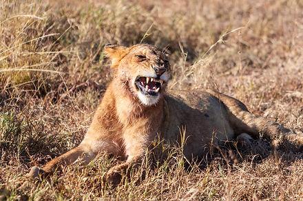 ellie bell photography, tanzania, east africa, serengeti, lioness, teeth