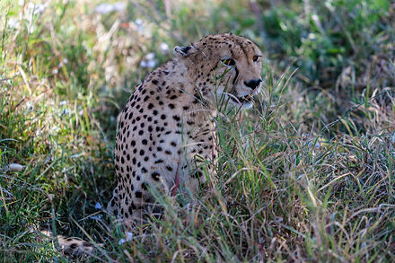 ellie bell photography, tanzania, east africa, serengeti, cheetah