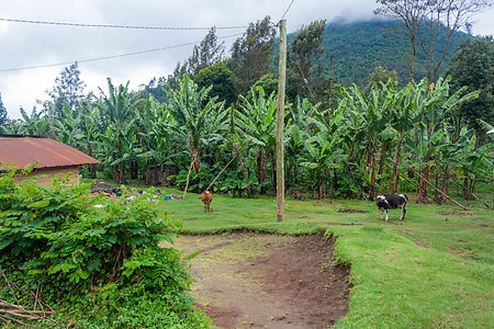 ellie bell photography, tanzania, east africa, arusha, ng'resi, mount meru, cows, volcano